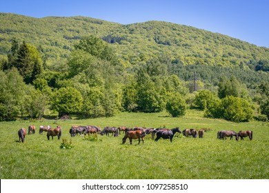 Herd of so called Hucul or Carpathian horses on a meadow in Bieszczady Mountains National Park, Poland