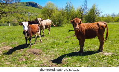 Herd of calves and cows grazing in nature - Shutterstock ID 1973141030