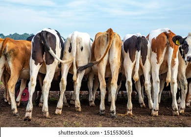 A herd calves in a row, seen from behind, their rump, bums next to each other, eating from a trough on wheels.