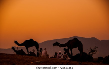 Herd of camels and animal arrive at the Pushkar fair grounds at the  sunrise.