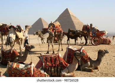 A herd of camels await riders near the great pyramids at Giza, outside of Cairo, Egypt
