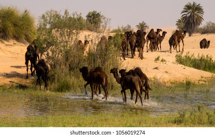 A Herd of Camels Crossing through Water Like an Oasis after Rain in the Arabian Desert