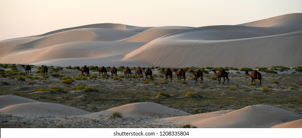 A Herd of Camels Heads Home as the Sun Begins to Set, Dammam, Eastern Province, Saudi Arabia
