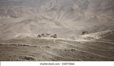 A herd of camels in Israel standing against a harsh desert landscape