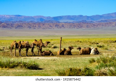 the herd of camels in the savannah