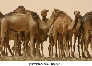 a herd of caravan camels is unloaded and waiting for their feeding in the Sahara Desert of Mali, Africa.