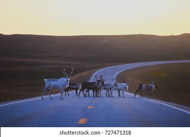 Herd of caribou reindeers pasturing and crossing the road near Nordkapp, Finnmark County, Norway