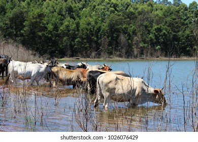 A herd of cattle drinking water from a dam