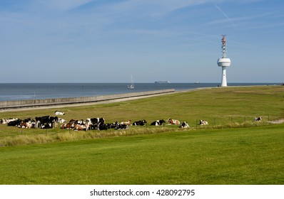 a herd of cattle enjoy a peaceful summer day on the island of Neuwerk at the mouth of the Elbe River in Germany. The animals grazing on the island  only in Summer