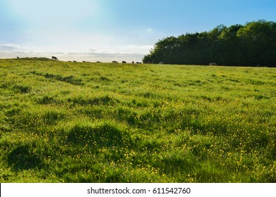Herd of cattle grazing in a lush pastures field in spring on a clear sunny day