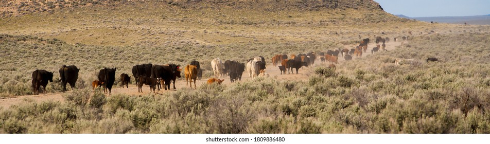 a herd of cattle moving along a road to a new, greener pasture in the Oregon high desert country near Silver Lake.