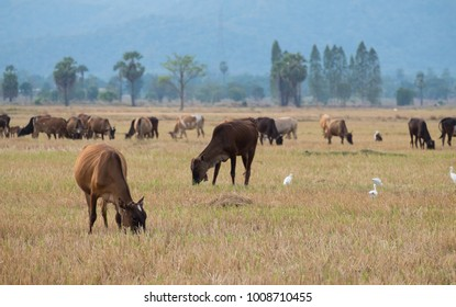 Herd of cattle in the pasture
