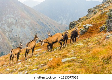 A herd of chamois (Tatra chamois, Rupicapra rupicapra tatrica) on a grassy slope in autumn in the Tatras.