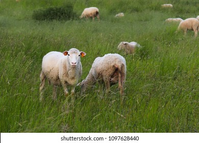 A herd of clear sheep color graze in a meadow with a tall green lush grass. Pasture of a farm with construction and trees. Industrial livestock. Livestock. Source of income of rural residents.
