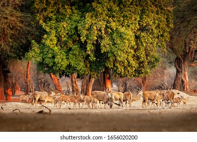 Herd of Common Eland - Taurotragus oryx also the southern eland or eland antelope, savannah and plains antelope found in East and Southern Africa, family Bovidae and genus Taurotragus.