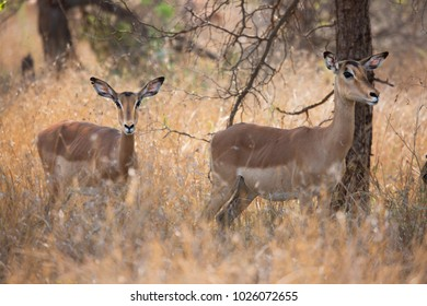 herd of Common impala, Aepyceros melampus, wandering and grazing through the tall dry grass