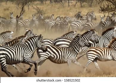 A herd of common zebras (Equus Quagga) galloping in Serengeti National Park, Tanzania