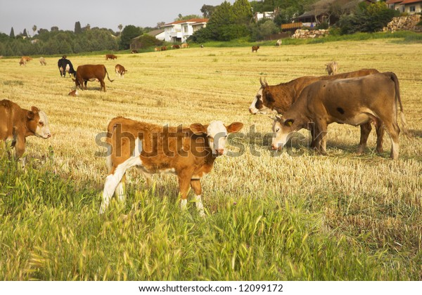 Herd of the corpulent cows, grazed on a pasture