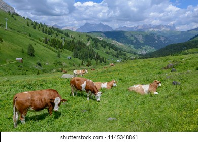 Herd of Cow in Dolomite alps on Italy