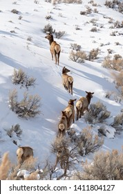 Herd of cow elk climbing a snowy hillside covered with sagebrush in Yellowstone Natioal Park. Photographed from behind.