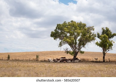 The herd of cow laying under the giant tree in the summer.