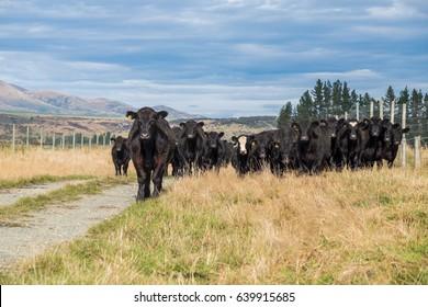Herd of cow in New Zealand