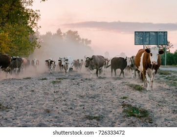 A herd of cows in autumn evening. Low light image.