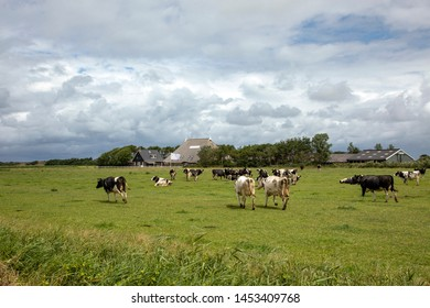 Herd of cows, bad rainy weather in cloudy skies, running in green pasture with farm in the background on the island of Schiermonnikoog.