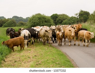 Herd of cows being driven up the road