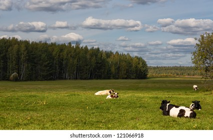 Herd of cows being grazed on a meadow