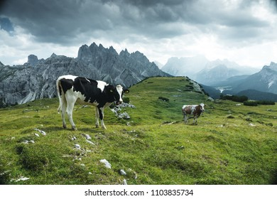 herd of cows (bos Taurus) on mountain laying om meadow with bell near Monte Pelmo, Dolomites, Italy