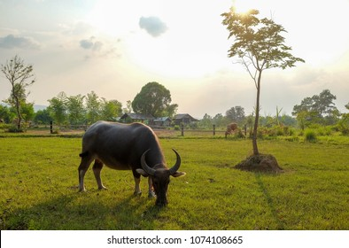 0d12466227d A herd of cows and buffaloes are grazing in green grass field in the  evening sunset