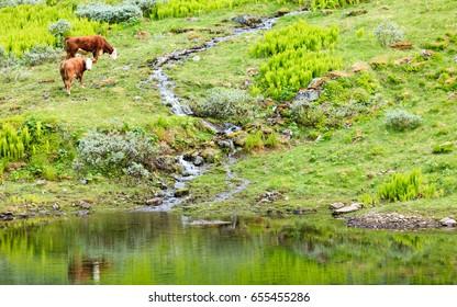 Herd of cows cattle in meadow field. Tranquil countryside scene.