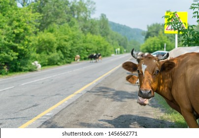 a herd of cows crossing the road, and pose a danger to cars
