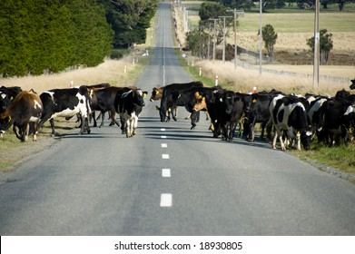 Herd of cows crossing the road in Wairarapa, New Zealand