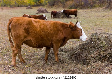 Herd of cows eat hay from stacks