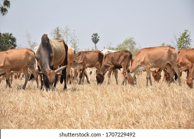 A herd of cows eating grass in the grassland Nature background
