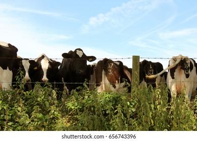 Herd of Cows Feeding
