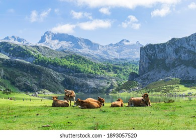 Herd of cows at the foot of the imposing Picos de Europa in front of Lake Ercina. Photograph taken in the Lakes of Covadonga, Asturias, Spain.