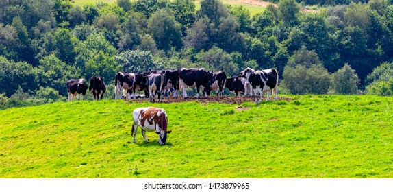 A herd of cows gathering on a hill top on a sunny summer day, Blackburn, Lancashire, England.