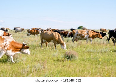 A herd of cows grazes on a green meadow. Rural landscape on a sunny summer day.