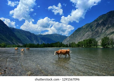 A herd of cows grazes in the Valley of the Chulyshman River. Altai Republic, Russia