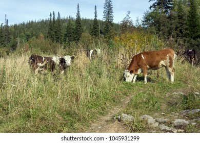 A herd of cows grazing beside the road, in the autumn forest.