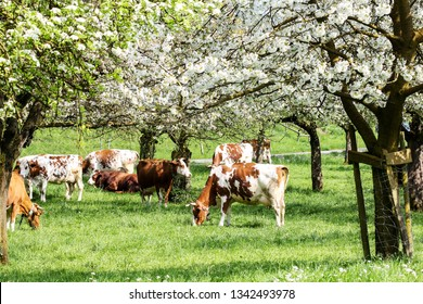 Herd of cows grazing in a blooming orchard with apple tree and pear tree flowers - an eco-friendly way of farming