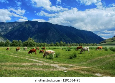 A herd of cows grazing in the Chulyshman valley. Altai Republic, Russia