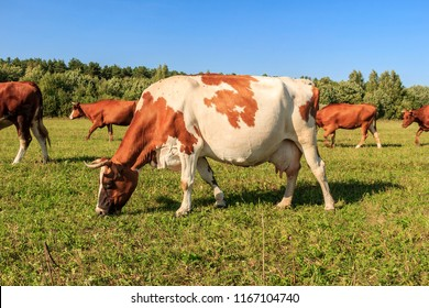 Herd of cows grazing in a meadow (field) near a road along the Volga River opposite village of Emmaus, near town of Tver, Russia.