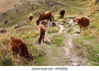 Herd of Cows Grazing in Meadow, Nepal
