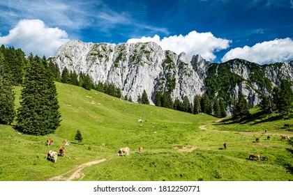 Herd of cows grazing on alpine meadow in summer. Steep slopes, huge limestone walls, panoramic peaks andmountains withvalleys around. Karavanke mountains, Slovenia and Karawanken mountains Carinthia