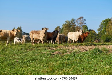 Herd of cows grazing on the green meadow