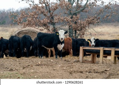 Herd of Cows grazing on hay on a Ranch in Oklahoma.